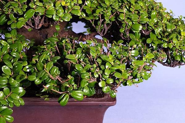 翠米茶  剪枝打薄  範例