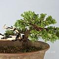 珍珠柏 模樣樹型 小品盆栽【學員:創作觀摩】