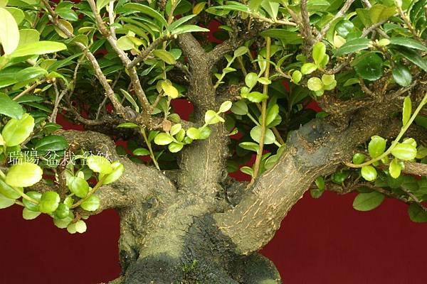 翠米茶的內腹枝定芽