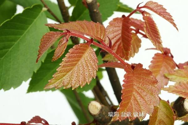 台灣櫸樹  紅芽