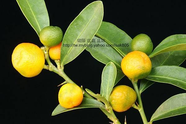 金豆柑果實