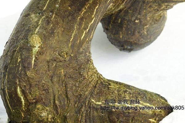 金豆柑白介殼蟲為害可經 【洗布槍】高壓噴除