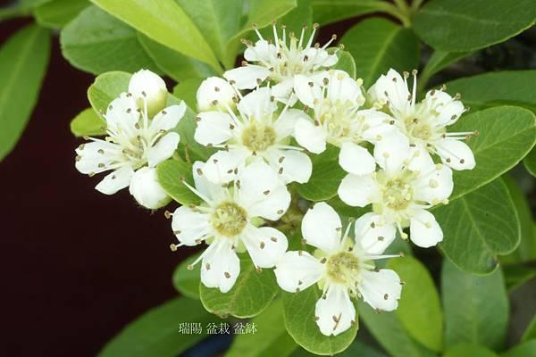 三四月狀元紅小白花