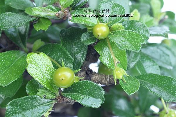 福建茶 綠果