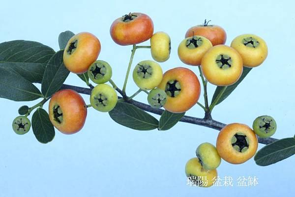狀元紅 黄果