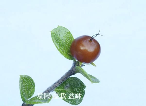 福建茶果實初結綠果約0.3公分,達成熟前呈橘紅色,成熟後為褐紅果
