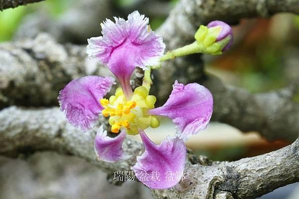 西印度櫻桃  花之特寫