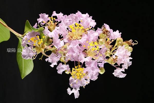 粉紅色  紫薇