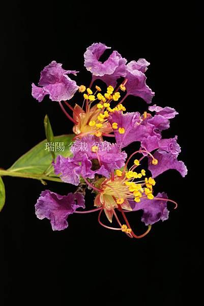 紫紅色  紫薇