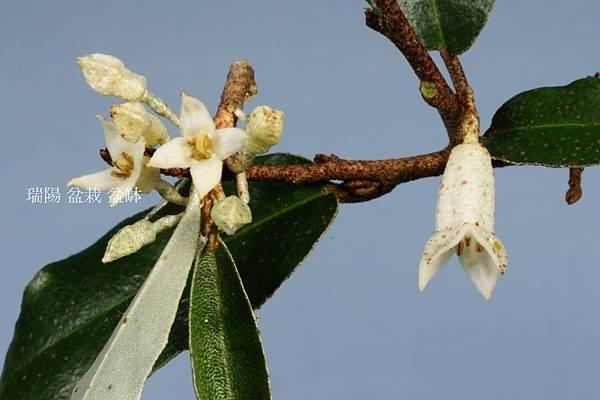 本土 銀梧花朵                      日本 寒茱萸花朵