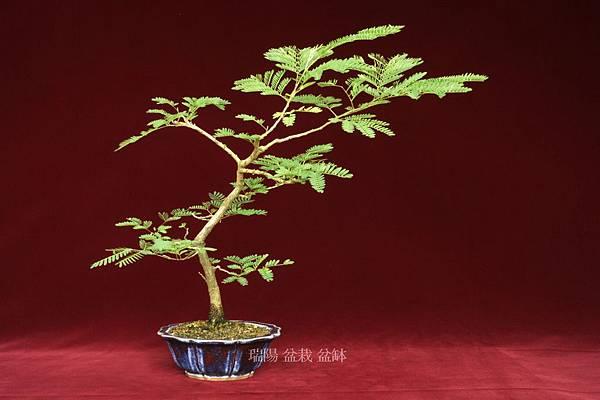 銀合歡   文人樹型