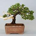 珍珠柏 模樣樹型 小品盆栽  幅寬 23cm