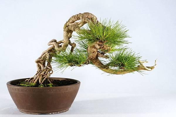 黑松盆栽 寬 55 cm 高 29 cm 深 38 cm