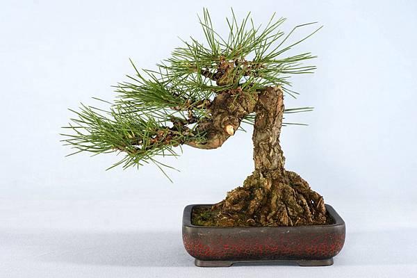 黑松盆栽 寬 24 cm 高 22 cm 深 24 cm