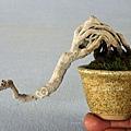 趣味掌中盆:銀楓 豆盆栽