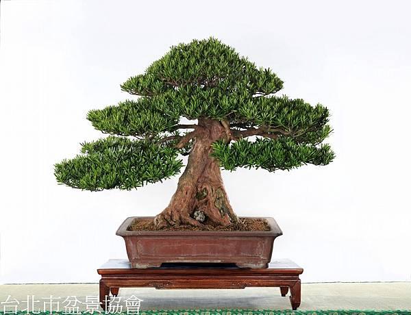 3A01-4689-參展-羅漢松-展覽主委.葉德生.jpg