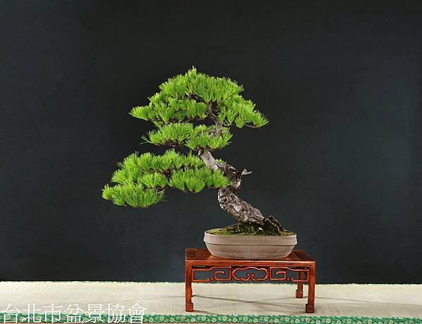 3B18-4575-銅樹獎-五葉松-賴鴻敏