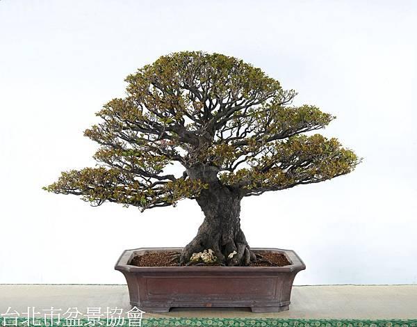 3D04-4675-象牙樹-許錦全