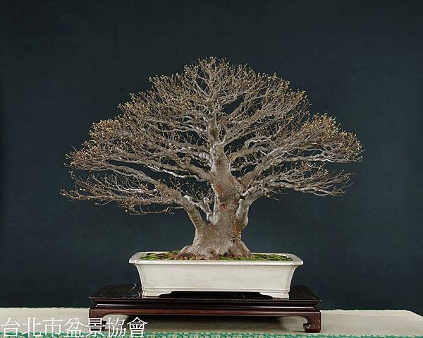 3D05-4573-櫸樹-周春居.jpg