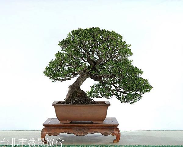 3D13-4570象牙樹-許錦全
