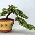 珍珠柏  懸崖樹型  小品盆栽  學員作品示範