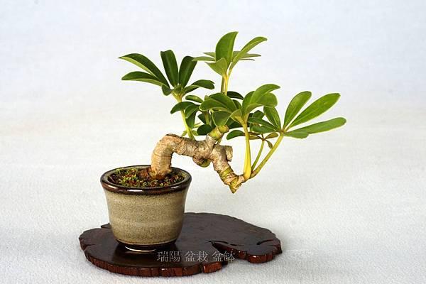 鵝掌藤 豆盆栽
