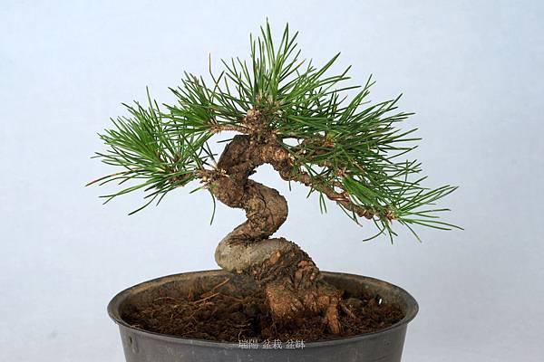 黑松盆栽     高  18 cm