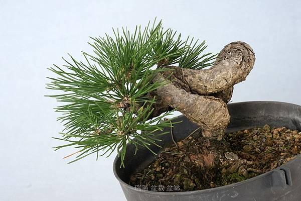 黑松盆栽    寬   18 cm