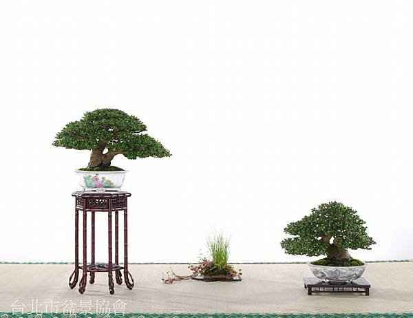 沈振坤-翡翠柃木