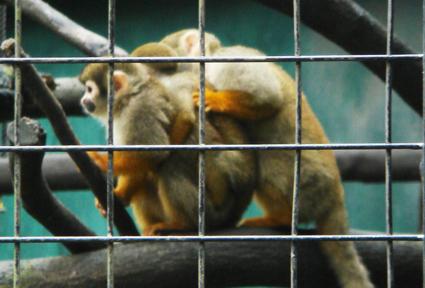 三貼松鼠猴