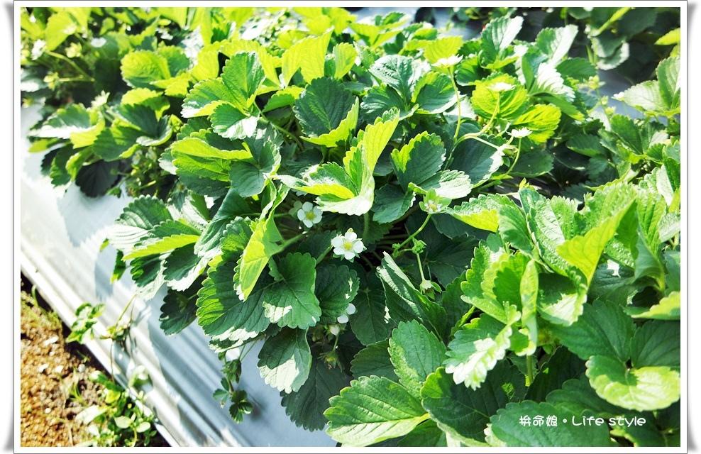 苗栗 大湖草莓13.jpg