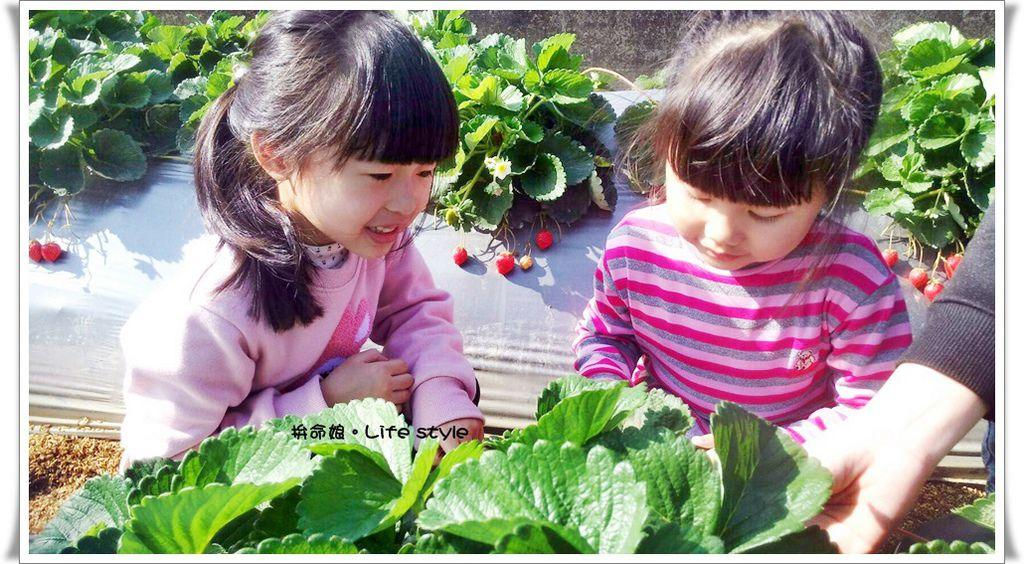 苗栗 大湖草莓14.jpg