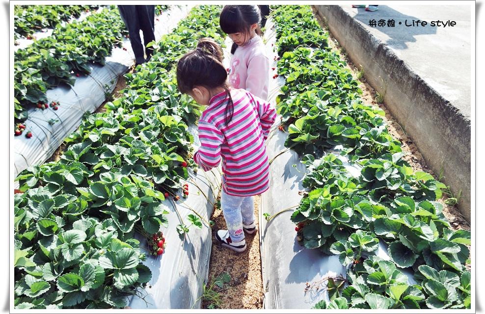 苗栗 大湖草莓15.jpg