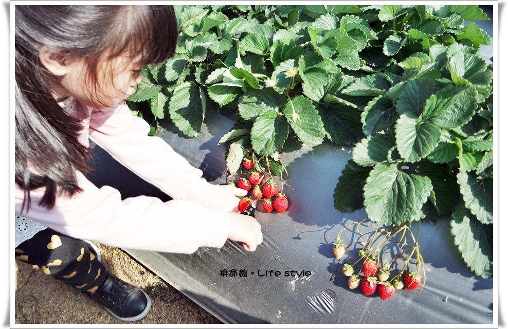 苗栗 大湖草莓16.jpg