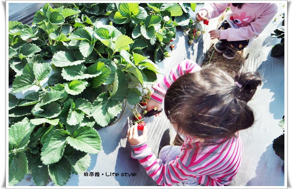 苗栗 大湖草莓18.jpg