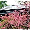 新竹麗池公園河津櫻1030216By小雪兒IMG_3499.JPG