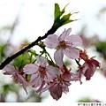 新竹麗池公園河津櫻1030216By小雪兒IMG_3504.JPG