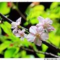 新竹麗池公園河津櫻1030216By小雪兒IMG_3520.JPG