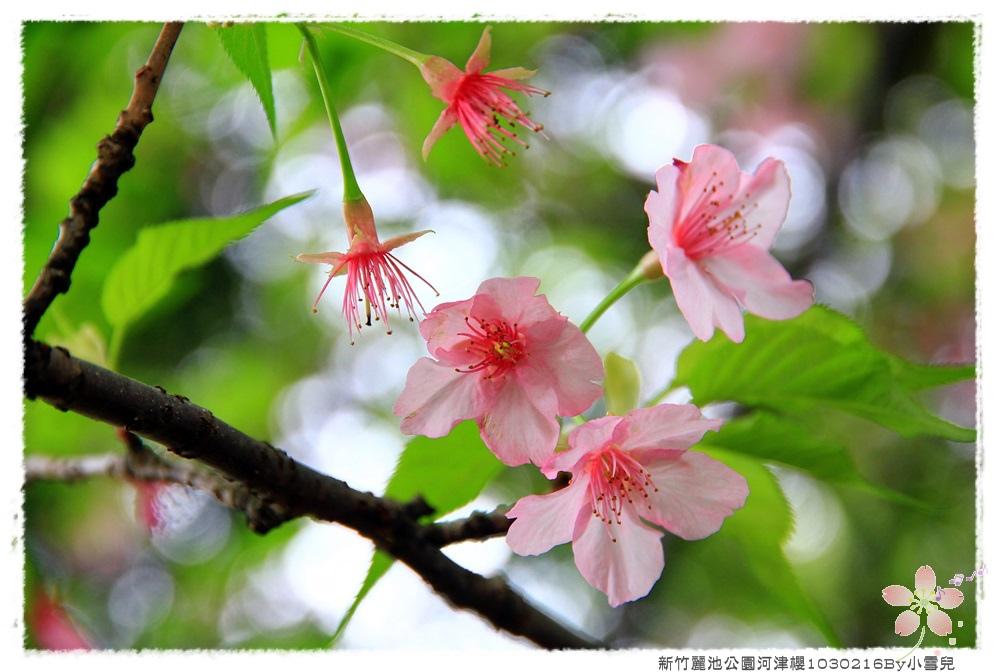 新竹麗池公園河津櫻1030216By小雪兒IMG_3540.JPG