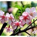 新竹麗池公園河津櫻1030216By小雪兒IMG_3561.JPG