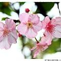 新竹麗池公園河津櫻1030216By小雪兒IMG_3568.JPG