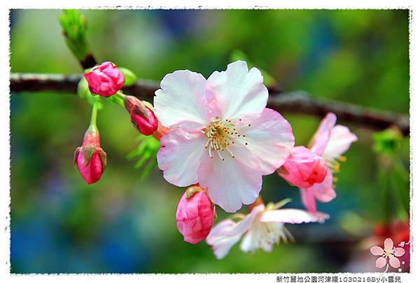 新竹麗池公園河津櫻1030216By小雪兒IMG_3597.JPG
