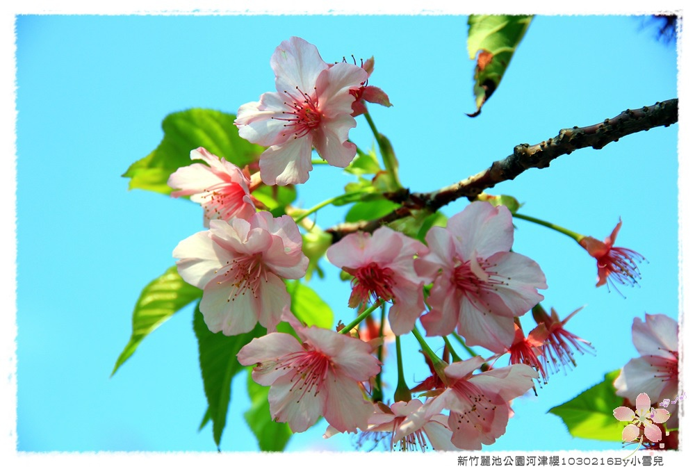 新竹麗池公園河津櫻1030216By小雪兒IMG_3606.JPG