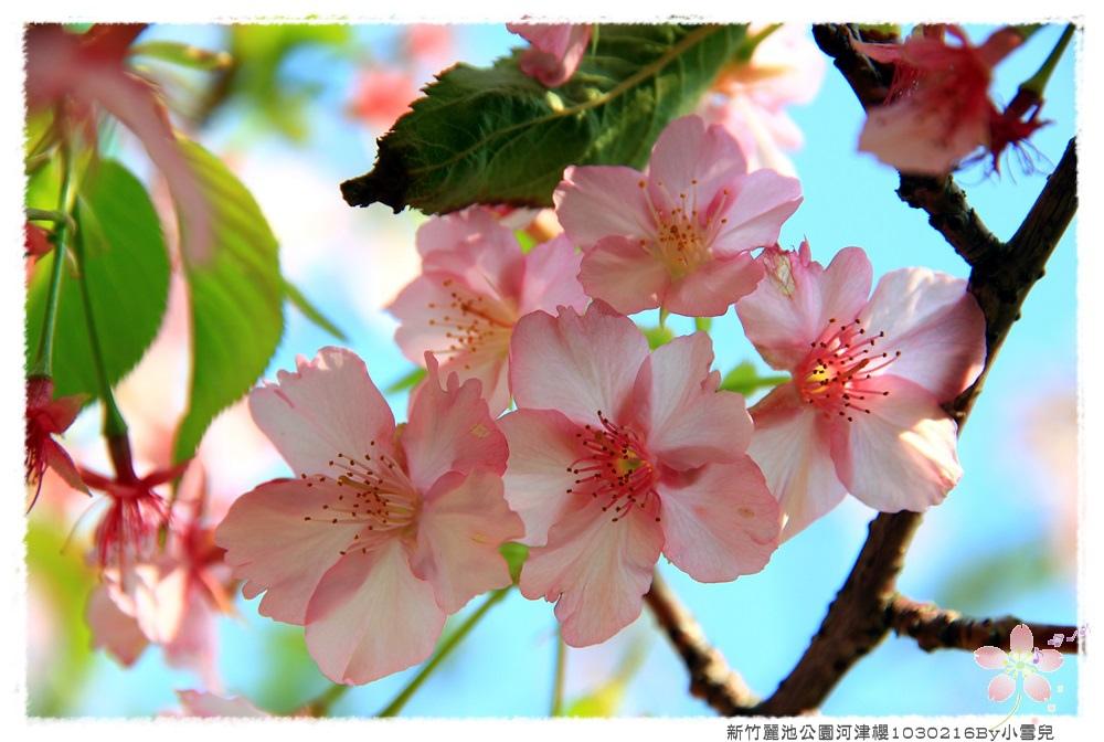 新竹麗池公園河津櫻1030216By小雪兒IMG_3615.JPG