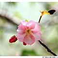 新竹麗池公園河津櫻1030216By小雪兒IMG_3641.JPG