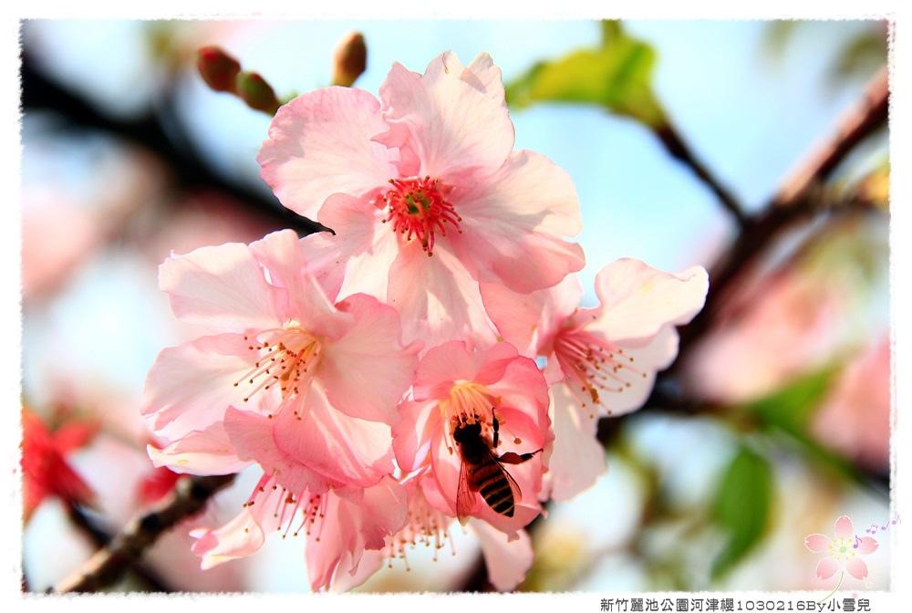新竹麗池公園河津櫻1030216By小雪兒IMG_3660.JPG
