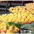 新埔柿餅趣by小雪兒1031005IMG_4303.JPG