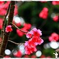 角板山賞梅趣1040125IMG_6692.JPG