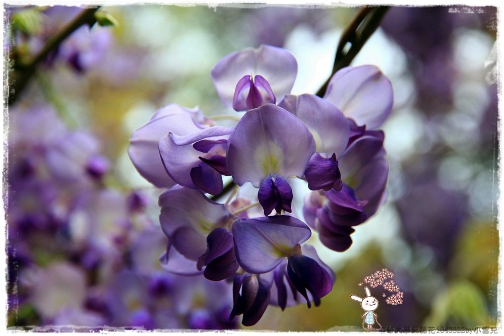 中華大學紫藤花1040322by小雪兒IMG_8265.JPG