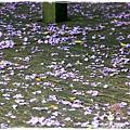 中華大學紫藤花1040322by小雪兒IMG_8274.JPG